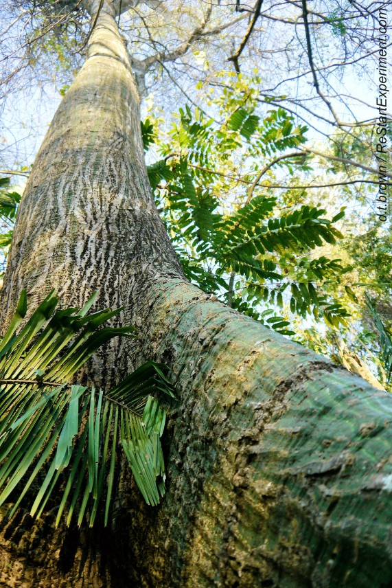 Costa Rica, Osa Peninsula, Balsa tree, D.T. Brown, ReStartExperiment.com