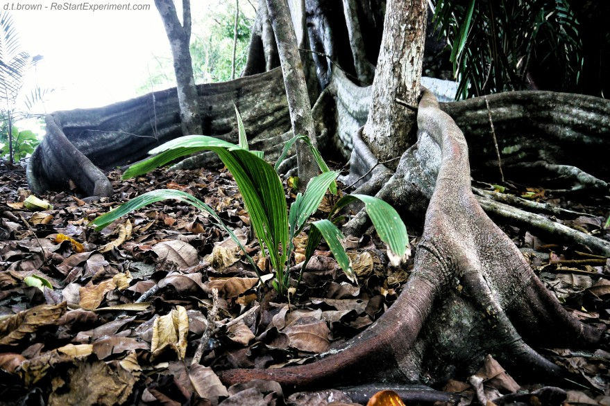 Costa Rica, Osa Peninsula, Panama Tree Roots, D.T. Brown, ReStartExperiment.com
