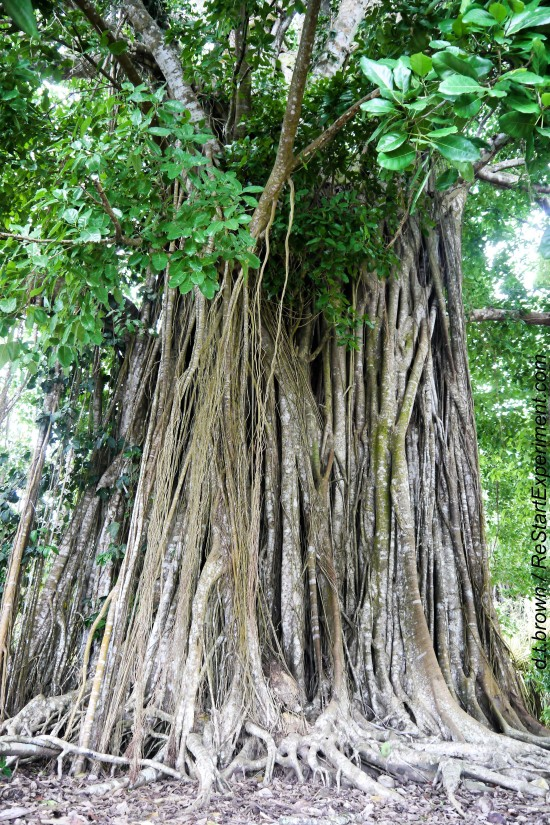 Costa Rica, Osa Peninsula, Matapalo Tree, D.T. Brown, ReStarExperiment.com