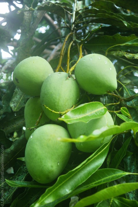 green mangoes, tropical food, costa rica, www.restartexperiment.com