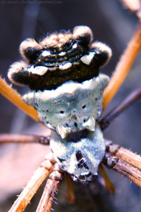argiope orb weaver, silver argiope, silver garden spider, silver orb weaver, argiope argentata, costa rica wildlife, osa peninsula, restartexperiment.com, d.t. brown